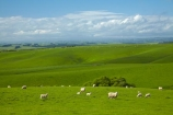 agricultural;agriculture;animal;animals;Balclutha;Clutha-District;country;countryside;crop;crops;domestic-stock;ewes;farm;farm-animals;farming;farmland;farms;field;fields;flock;flocks;green;herbivore;herbivores;herbivorous;herd;herds;horticulture;livestock;mammal;mammals;meadow;meadows;N.Z.;New-Zealand;NZ;outdoor;outdoors;outside;paddock;paddocks;pasture;pastures;rolling-hills;rural;S.I.;season;seasonal;seasons;sheep;SI;South-Is;South-Island;South-Otago;spring;spring-time;spring_time;springtime;Sth-Is.;stock