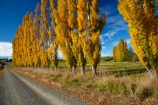 agricultural;agriculture;autuminal;autumn;autumn-colour;autumn-colours;autumnal;Clutha-District;color;colors;colour;colours;country;country-road;country-roads;countryside;deciduous;fall;farm;farming;farmland;farms;field;fields;gold;golden;gravel-road;gravel-roads;leaf;leaves;Lovells-Flat;Lovells-Flat;meadow;meadows;metal-road;metal-roads;metalled-road;metalled-roads;N.Z.;New-Zealand;NZ;Otago;paddock;paddocks;pasture;pastures;poplar;poplar-tree;poplar-trees;poplars;road;roads;Robson-Rd;Robson-Road;row;rural;rural-road;rural-roads;S.I.;season;seasonal;seasons;SI;South-Is;South-Island;South-Otago;Sth-Is;tree;trees;unpaved-road;unpaved-roads;yellow