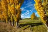 agricultural;agriculture;autuminal;autumn;autumn-colour;autumn-colours;autumnal;Clutha-District;color;colors;colour;colours;country;countryside;deciduous;ewes;fall;farm;farm-animals;farming;farmland;farms;field;fields;flock;flocks;gold;golden;herbivore;herbivores;herbivorous;herd;herds;leaf;leaves;livestock;Lovells-Flat;Lovells-Flat;mammal;mammals;meadow;meadows;N.Z.;New-Zealand;NZ;Otago;outdoor;outdoors;outside;paddock;paddocks;pasture;pastures;poplar;poplar-tree;poplar-trees;poplars;Robson-Rd;Robson-Road;row;rural;S.I.;season;seasonal;seasons;sheep;SI;South-Is;South-Island;South-Otago;Sth-Is;stock;tree;trees;white;yellow