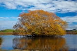 autuminal;autumn;autumn-colour;autumn-colours;autumnal;Benhar;calm;Clutha-District;color;colors;colour;colours;deciduous;fall;gold;golden;Kaitangata;lake;Lake-Tuakitoto;lakes;leaf;leaves;N.Z.;New-Zealand;NZ;Otago;placid;quiet;reflected;reflection;reflections;S.I.;season;seasonal;seasons;serene;SI;smooth;South-Is;South-Island;South-Otago;Sth-Is;still;tranquil;tree;trees;water;willow;Willow-tree;willow-trees;willows;yellow