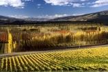 vine;vines;vineyard;vineyards;wine;wines;winery;wineries;grape;grapes;vintage;grapevine;horticulture;cultivation;rural;farm;farms;farming;field;fields;crop;crops;color;colors;colours;colours;yellow;autumn;fall;leaf;leaves;poplar;poplars;tree;trees;poplar-tree;poplar-trees