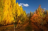 autuminal;autumn;autumn-colour;autumn-colours;autumnal;Central-Otago;color;colors;colour;colours;country;countryside;Cromwell;crop;crops;deciduous;fall;farm;farming;farmland;farms;field;fruit;fruit-tree;fruit-trees;gold;golden;horticulture;leaf;leaves;N.Z.;New-Zealand;NZ;orchard;orchards;Otago;poplar;poplar-tree;poplar-trees;poplars;Ripponvale;row;rows;rural;S.I.;season;seasonal;seasons;SI;South-Is;South-Island;Sth-Is;tree;trees;yellow
