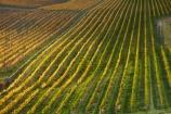 agricultural;agriculture;autuminal;autumn;autumn-colour;autumn-colours;autumnal;Bannockburn;Central-Otago;central-otago-vineyard;central-otago-vineyards;central-otago-wineries;central-otago-winery;color;colors;colour;colours;country;countryside;crop;crops;cultivation;deciduous;fall;farm;farming;farmland;farms;Felton-Rd-Vineyard;Felton-Rd-Vineyards;Felton-Rd-Wines;Felton-Road-Vineyard;Felton-Road-Vineyards;Felton-Road-Wines;field;fields;gold;golden;grape;grapes;grapevine;horticulture;leaf;leaves;line;lines;N.Z.;near-Cromwell;New-Zealand;NZ;Otago;row;rows;rural;S.I.;season;seasonal;seasons;SI;South-Is.;South-Island;Sth-Is;Sth-Is.;tree;trees;vine;vines;vineyard;vineyards;vintage;wine;wineage;wineries;winery;wines;yellow