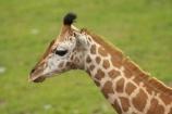 African;Baringo-Giraffe;Baringo-Giraffes;calf;calves;Canterbury;Christchurch;fauna;Giraffa-camelopardalis;Giraffa-camelopardalis-rothschildsi;Giraffidae;head;heads;long-neck;mammal;mammals;N.Z.;New-Zealand;Northern-Giraffe;Northern-Giraffes;NZ;Orana-Wildlife-Park;Rothschild-Giraffe;Rothschild-Giraffes;Rothschilds-Giraffe;Rothschilds-Giraffes;Rothschilds-Giraffe;Rothschilds-Giraffes;S.I;SI;South-Is;South-island;Ugandan-Giraffe;Ugandan-Giraffes;wildlife;wildlife-park;wildlife-parks;zoo;zoos