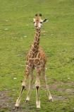 African;Baringo-Giraffe;Baringo-Giraffes;calf;calves;Canterbury;Christchurch;fauna;Giraffa-camelopardalis;Giraffa-camelopardalis-rothschildsi;Giraffidae;long-neck;mammal;mammals;N.Z.;New-Zealand;Northern-Giraffe;Northern-Giraffes;NZ;Orana-Wildlife-Park;Rothschild-Giraffe;Rothschild-Giraffes;Rothschilds-Giraffe;Rothschilds-Giraffes;Rothschilds-Giraffe;Rothschilds-Giraffes;S.I;SI;South-Is;South-island;Ugandan-Giraffe;Ugandan-Giraffes;wildlife;wildlife-park;wildlife-parks;zoo;zoos
