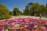 Botanic-Garden;Botanic-Gardens;Botanical-Garden;Botanical-Gardens;Canterbury;Christchurch;Christchurch-Botanic-Gardens;Christchurch-Botanical-Gardens;Christchurch-Gardens;floral;flower;flower-bed;flower-beds;flowers;garden;gardens;Hagley-Park;N.Z.;New-Zealand;NZ;petunia-flowers;petunias;pink;S.I.;South-Is;South-Island