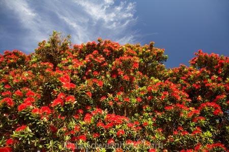 Pohutukawa Tree In Bloom Thames Coast Coromandel Peninsula North