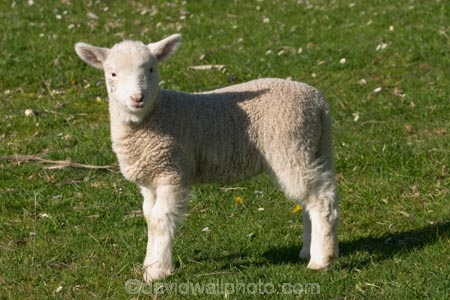 agricultural;agriculture;Animal;Animals;babies;baby;country;countryside;crop;crops;cute;Daytime;Dunedin;farm;Farm-animals;farming;farmland;farms;field;fields;fluffy;generation;generations;genetic;genetics;grass;grassy;green;Herbivore;Herbivores;Herbivorous;horticulture;lamb;lambs;Livestock;Mammal;Mammals;meadow;meadows;mother;mothers;mutton;new;New-Lamb;New-Zealand;Outdoor;Outdoors;Outside;paddock;paddocks;pastoral;pasture;pastures;rural;season;seasonal;seasons;Sheep;South-Island;spring;white;wool;woolly;wooly;young