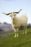 agricultural;agriculture;country;countryside;farm;farming;farmland;farms;fibre;field;fields;goat;goats;horn;horns;horticulture;long-horn;long-horned;long-horns;meadow;meadows;paddock;paddocks;pasture;pastures;rural;wool;wooly