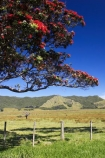 agricultural;agriculture;country;countryside;crop;crops;east-cape;east-coast;eastland;farm;farming;farmland;farms;fence;fenceline;fencelines;fences;field;fields;flower;flowers;hill;hills;horticulture;meadow;meadows;metrosideros-excelsa;new-zealand;north-is.;north-island;paddock;paddocks;pasture;pastures;pohutakawa;pohutakawas;pohutukawa;pohutukawa-flower;pohutukawa-flowers;pohutukawa-tree;pohutukawa-trees;pohutukawas;rural;tree;trees