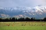 agricultural;agriculture;alp;alpine;alps;altitude;animals;country;countryside;deer;deer-faming;deer-farm;deers;farm;farming;farmland;farms;field;fields;fiordland;grass;green;high-altitude;livestock;meadow;meadows;mount;mountain;mountain-peak;mountainous;mountains;mountainside;mt;mt.;New-Zealand;paddock;paddocks;pasture;pastures;peak;peaks;range;ranges;red-deer;rural;snow;snow-capped;snow_capped;snowcapped;snowy;South-Island;southland;summit;summits;Te-Anau
