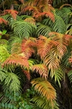 Blechnum-novae-zelandiae;Blechnum-novae_zelandiae;branch;branches;fern;ferns;fiordland;Fiordland-N.P;fiordland-national-park;forest;forestry;forests;frond;fronds;green;Kiokio;leaf;leaves;lush;Manapouri;n.z.;national-park;National-parks;native-bush;new-zealand;nz;orange;red;S.I.;SI;South-Island;South-West-New-Zealand-World-Her;Southland;te-wahipounamu;te-wahipounamu-south_west-new;world-heirtage-site;world-heritage-area