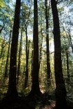bush;endemic;forests;native;natives;New-Zealand;Nothofagus;southern-beeches;timber;tree;trees;wood