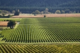 agricultural;agriculture;country;countryside;crop;crops;cultivation;Eskdale;farm;farming;farmland;farms;field;fields;grape;grapes;grapevine;Hawkes-Bay;horticulture;N.I.;N.Z.;Napier;New-Zealand;NI;North-Island;NZ;row;rows;rural;vine;vines;vineyard;vineyards;vintage;wine;wineries;winery;wines