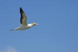 Australasian-Gannet;Australasian-Gannet-Colony;Australasian-Gannets;bird;bird-watching;bird_watching;birds;birdwatching;Cape-Kidnappers;Cape-Kidnappers-Gannet-Colony;colony;eco-tourism;eco_tourism;ecotourism;flight;fly;flying;gannet;Gannet-Colonies;Gannet-Colony;gannets;glide;gliding;Hawkes-Bay;Hawkes-Bay;marine;Morus-serrator;N.I.;N.Z.;native;natural-history;nature;new-zealand;NI;North-Is;North-Is.;North-Island;NZ;ornithology;soar;Takapu;wildlife;wings