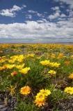 Flowers;Gazania;gazanias;Hawkes-Bay;Hawkes-Bay;Marine-Parade;N.I.;N.Z.;Napier;Napier-Waterfront;New-Zealand;NI;North-Is;North-Is.;North-Island;NZ;season;seasonal;seasons;spring;springtime;wild-flower;wild-flowers;wild_flower;wild_flowers;wildflower;wildflowers;yellow;yellow-flower;yellow-flowers