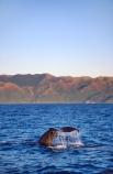 cetacean;cetaceans;diving;mammal;marine-mammal;ocean;Physeter-macrocephalus;sea;tail;tails;whale-tail