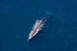 aerial;aerial-photo;aerial-photography;aerial-photos;aerial-view;aerial-views;aerials;Animal;Animals;big;Cetacean;Cetaceans;coast;coastal;coasts;eco-tourism;eco_tourism;ecotourism;giant;gigantic;head;heads;huge;Kaikoura;mammal;mammals;Marine-life;Marine-mammal;Marine-mammals;Marlborough;N.Z.;nature;New-Zealand;NZ;ocean;oceans;pacific-ocean;Physeter-macrocephalus;ratural;S.I.;sea;Sea-mammal;Sea-mammals;seas;SI;South-Island;spectacular;sperm-whale;sperm-whales;Water;Whale;whale-watch;whale-watchers;whale-watching;whale_watch;whale_watchers;whale_watching;whales;wildlife