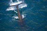 aerial;aerial-photo;aerial-photography;aerial-photos;aerial-view;aerial-views;aerials;Animal;Animals;big;Cetacean;Cetaceans;coast;coastal;coasts;eco-tourism;eco_tourism;ecotourism;giant;gigantic;head;heads;huge;Kaikoura;mammal;mammals;Marine-life;Marine-mammal;Marine-mammals;Marlborough;N.Z.;nature;New-Zealand;NZ;ocean;oceans;pacific-ocean;Physeter-macrocephalus;ratural;S.I.;sea;Sea-mammal;Sea-mammals;seas;SI;South-Island;spectacular;sperm-whale;sperm-whales;Water;Whale;whale-tail;whale-tails;whale-watch;whale-watchers;whale-watching;whale_watch;whale_watchers;whale_watching;whales;wildlife