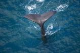aerial;aerial-photo;aerial-photography;aerial-photos;aerial-view;aerial-views;aerials;Animal;Animals;big;Cetacean;Cetaceans;coast;coastal;coasts;eco-tourism;eco_tourism;ecotourism;giant;gigantic;head;heads;huge;Kaikoura;mammal;mammals;Marine-life;Marine-mammal;Marine-mammals;Marlborough;N.Z.;nature;New-Zealand;NZ;ocean;oceans;pacific-ocean;Physeter-macrocephalus;ratural;S.I.;sea;Sea-mammal;Sea-mammals;seas;SI;South-Island;spectacular;sperm-whale;sperm-whales;Water;Whale;whale-tail;whale-tails;whale-watch;whale-watchers;whale-watching;whale_watch;whale_watchers;whale_watching;whales;wildlife