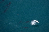 aerial;aerial-photo;aerial-photography;aerial-photos;aerial-view;aerial-views;aerials;dolphin;dolphins;Dusky-Dolphin;Dusky-Dolphins;eco-tourism;eco_tourism;ecotourism;flip;flipping;flips;jump;jumping;jumps;Kaikoura;Lagenorhynchus-obscurus;leap;leaping;leaps;mammal;mammals;marine-mammal;marine-mammals;Marlborough;N.Z.;natural;nature;New-Zealand;NZ;ocean;pacific;pod;pods;S.I.;sea;SI;somersault;somersaulting;somersaults;South-Island;splash;summersault;summersaulting;summersaults;wildlife