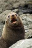 Arctocephalus-forsteri;coast;coastal;coastline;external-ears;fur;Fur-Seal;kaikoura;Kaikoura-Coast;mammal;mammals;marine;Marlborough;N.Z.;native;natural-history;nature;new-zealand;New-Zealand-Fur-Seal;NZ;NZ-Fur-Seal;ocean;pointy-nose;S.I.;sea;seal;seals;SI;snout;South-Island;water;whiskers;wildife