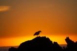 bird;bird-watching;bird_watching;birds;break-of-day;coast;coastal;coastline;coastlines;coasts;dawn;dawning;daybreak;eco-tourism;eco_tourism;ecotourism;first-light;foreshore;gull;gulls;Kaikoura;Kaikoura-Coast;marine;Marlborough;morning;N.Z.;native;natural-history;nature;New-Zealand;NZ;ocean;orange;S.I.;sea;seagull;seagulls;shore;shoreline;shorelines;shores;SI;silhouette;silhouettes;South-Is;South-Island;squark;squarking;sunrise;sunrises;sunup;twilight;water