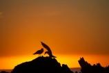 bird;bird-watching;bird_watching;birds;break-of-day;coast;coastal;coastline;coastlines;coasts;dawn;dawning;daybreak;eco-tourism;eco_tourism;ecotourism;first-light;foreshore;gull;gulls;Kaikoura;Kaikoura-Coast;marine;Marlborough;morning;N.Z.;native;natural-history;nature;New-Zealand;NZ;ocean;orange;S.I.;sea;seagull;seagulls;shore;shoreline;shorelines;shores;SI;silhouette;silhouettes;South-Is;South-Island;sunrise;sunrises;sunup;twilight;water