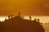 Animal;animals;avian;bird;bird-spotting;bird-watching;bird_watching;birds;break-of-day;coast;coastal;coastline;coastlines;coasts;dawn;dawning;daybreak;eco-tourism;eco_tourism;ecotourism;Fauna;first-light;Kaikoura;Kaikoura-Coast;Marlborough;morning;Natural;Nature;New-Zealand;NZ;ocean;oceans;orange;Ornithology;Phalacrocorax-varius;Pied-Shag;Pied-Shags;S.I.;sea;seas;shore;shoreline;shorelines;shores;South-Is;South-Island;Sth-Is;sunrise;sunrises;sunup;twilight;water;wild;wildlife