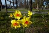 Canterbury;daffodil;daffodils;Hamner;Hamner-Springs;Hanmer;Hanmer-Springs;Hurunui-District;N.Z.;New-Zealand;NZ;park;parks;reserve;reserves;S.I.;season;seasonal;seasons;SI;South-Is;South-Is.;South-Island;spring;spring-time;spring_time;springtime;Sth-Is;tree;trees