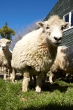 agriculture;Animal;Animals;barn;barns;breed;Countryside;Daytime;drysdale;drysdales;face;farm;Farm-animals;farming;farmland;farms;Farmyard;field;fields;Herbivore;Herbivores;Herbivorous;kaikoura;Livestock;Mammal;Mammals;marlborough;new-zealand;Outdoor;Outdoors;Outside;Rural;shearing-shed;shearing-sheds;Sheep;south-island;stock;stock-yard;stockyard;wool;wool-shed;wool-sheds;woolly;woolshed;woolsheds;wooly