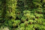 Auputa;Auputa-Scenic-Reserve;beautiful;beauty;bush;cyathea;endemic;fern;ferns;forest;forests;frond;fronds;green;Karewarewa;N.I.;N.Z.;native;native-bush;natives;natural;nature;New-Zealand;NI;North-Island;NZ;ponga;pongas;punga;pungas;Rangitikei;scene;scenic;tree;tree-fern;tree-ferns;trees;wood;woods
