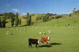 agricultural;agriculture;and;cattle;country;countryside;cow;cows;farm;farming;farmland;farms;field;fields;Fresh;green;grow;Growth;island;Livestock;Lower-North-Island;lush;masterton;meadow;meadows;N.I.;N.Z.;near;new;new-zealand;NI;north;North-Is;north-is.;north-island;NZ;o8l0923;paddock;paddocks;pasture;pastures;rural;season;seasonal;seasons;sheep;spring;springtime;stock;Tinui;wairarapa;zealand
