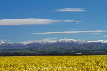 agricultural;agriculture;canola;Canterbury;color;colors;colour;colours;country;countryside;crop;cropping;crops;cultivate;cultivation;farm;farming;farmland;farms;field;fields;flower;flowers;horticultural;horticulture;meadow;meadows;mountain;mountain-range;mountain-ranges;N.Z.;New-Zealand;NZ;paddock;paddocks;pasture;pastures;ranges;rape-seed;rape_seed;rapeseed;rural;S.I.;SI;snow;snowy;South-Canterbury;South-Is;South-Is.;South-Island;spring;spring-time;spring_time;Sth-Canterbury;Sth-Is;Timaru;yellow