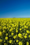 agricultural;agriculture;blue-sky;canola;Canterbury;color;colors;colour;colours;country;countryside;crop;cropping;crops;cultivate;cultivation;farm;farming;farmland;farms;field;fields;flower;flowering;flowers;horticultural;horticulture;meadow;meadows;N.Z.;New-Zealand;NZ;paddock;paddocks;pasture;pastures;rape-seed;rape_seed;rapeseed;rural;S.I.;SI;South-Canterbury;South-Is;South-Is.;South-Island;Sth-Canterbury;Sth-Is;Timaru;yellow;yellow-flowers