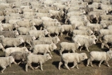 agricultural;agriculture;animal;Animals;country;countryside;crowd;crowded;Crowds;drove;droving;ewes;farm;Farm-animals;farming;farms;field;fields;flock;flocks;herbivore;herbivores;herbivorous;herd;herds;livestock;Mackenzie-Country;Mackenzie-District;mammal;mammals;Mckenzie-Country;Mckenzie-District;meadow;meadows;mob;mobs;muster;mustering;N.Z.;New-Zealand;NZ;Outdoor;Outdoors;Outside;paddock;paddocks;pasture;pastures;rural;S.I.;sheep;SI;South-Canterbury;South-Island;stock;white;wool;woolly;wooly