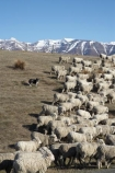 agricultural;agriculture;animal;Animals;Ben-Ohau-Range;border-collie;border-collies;border_collie;border_collies;bordercollie;bordercollies;country;countryside;crowd;crowded;Crowds;dog;dogs;drove;droving;ewes;farm;Farm-animals;farming;farms;field;fields;flock;flocks;herbivore;herbivores;herbivorous;herd;herds;livestock;Mackenzie-Country;Mackenzie-District;mammal;mammals;Mckenzie-Country;Mckenzie-District;meadow;meadows;mob;mobs;muster;mustering;N.Z.;New-Zealand;NZ;Outdoor;Outdoors;Outside;paddock;paddocks;pasture;pastures;rural;S.I.;sheep;sheep-dog;sheep-dogs;sheep_dog;sheep_dogs;sheepdog;sheepdogs;SI;South-Canterbury;South-Island;stock;white;wool;woolly;wooly;working-dog;working-dogs