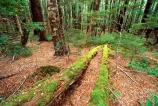 green;nature;natural;scenic;scene;beautiful;beauty;bush;forest;forestry;forests;fern;ferns;rainforest;rain_forest;rainforests;rain_forests;rain-forest;rain-forests;verdant;alive;track;tracks;beech;nelson-lakes-national-park;nelson-lakes;national-parks;log;fallen;moss;mossy;trunk;tree;trees;lush