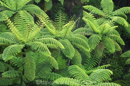 A.H.-Reed-Memorial-Kauri-Park;beautiful;beauty;black-tree-fern;bush;endemic;fern;ferns;forest;forests;frond;fronds;green;mamaku;native;native-bush;natives;natural;nature;New-Zealand;north-is.;north-island;Northland;rain-forest;rain-forests;rain_forest;rain_forests;rainforest;rainforests;scene;scenic;tree;trees;Whangarei;wood;woods