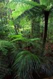 black-tree-fern;botany;bush;fern;ferns;flora;foiliage;forests;mamaku;native;timber;trees;wood