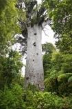 ancient;big;biggest;black-tree-fern;botany;bush;enormous;fern;ferns;flora;foiliage;forest;forests;giant;gigantic;huge;kauri;kauri-tree;kauri-trees;kauris;large;largest;mamaku;native;native-bush;native-forest;new-zealand;north-is.;north-island;Northland;old;ponga;punga;Tane-Mahuta;timber;tree;trees;very-old;Waipoua-Forest;waipoua-kauri-forest;wood