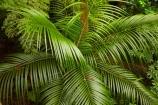A.H.-Reed-Memorial-Kauri-Park;A.H.-Reed-Memorial-Park;beautiful;beauty;bush;endemic;forest;forests;green;N.I.;N.Z.;native;native-bush;native-plant;native-plants;natives;natural;nature;New-Zealand;NI;nikau;Nikau-Palm;nikau-palms;nikaus;North-Is;North-Is.;North-Island;Northland;NZ;palm;palm-tree;palm-trees;palms;plant;plants;rain-forest;rain-forests;rain_forest;rain_forests;rainforest;rainforests;Rhopalostylis-sapida;scene;scenic;tree;trees;Whangarei