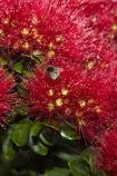 Bay-of-Is;Bay-of-Islands;bee-bees;Bumble-Bee;Bumble-Bees;Bumblebee;Bumblebees;close-up;close_up;closeup;crimson;flower;flowers;metrosideros-excelsa;N.I.;N.Z.;native;native-plant;native-plants;New-Zealand;NI;North-Is;North-Is.;North-Island;Northland;NZ;Paihia;plant;plants;pohutakawa;pohutakawas;pohutukawa;pohutukawa-flower;pohutukawa-flowers;pohutukawa-tree;pohutukawa-trees;pohutukawas;red;summer;tree;trees