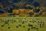 agricultural;agriculture;animal;animals;autuminal;autumn;autumn-colour;autumn-colours;autumnal;color;colors;colour;colours;country;countryside;deciduous;domestic-stock;ewes;fall;farm;farm-animals;farming;farmland;farms;field;fields;flock;flocks;gold;golden;herbivore;herbivores;herbivorous;herd;herds;leaf;leaves;livestock;mammal;mammals;meadow;meadows;mob;mobs;muster;mustering;N.Z.;New-Zealand;North-Otago;NZ;Otago;outdoor;outdoors;outside;paddock;paddocks;pasture;pastures;poplar;poplar-tree;poplar-trees;poplars;rural;S.I.;season;seasonal;seasons;sheep;SI;South-Island;Sth-Is;Sth-Is.;stock;tree;trees;Waitaki;Waitaki-District;Waitaki-Region;Waitaki-Valley;willow;willow-tree;willow-trees;willows;yellow
