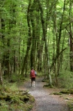 beautiful;beauty;Beech-Forest;bush;endemic;forest;forests;green;hike;hiker;hikers;hiking;native;native-bush;natives;natural;nature;New-Zealand;Nothofagus;rain-forest;rain-forests;rain_forest;rain_forests;rainforest;rainforests;scene;scenic;southern-beeches;timber;tramp;tramper;trampers;tramping;tree;tree-trunk;tree-trunks;trees;trek;treker;trekers;treking;trekker;trekkers;trekking;trunk;trunks;walk;walker;walkers;walking;wood;woods