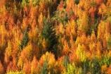 Arrowtown;autuminal;autumn;autumn-colour;autumn-colours;autumnal;Central-Otago;color;colors;colour;colours;deciduous;fall;leaf;leaves;N.Z.;near-Queenstown;New-Zealand;NZ;orange;Otago;rowan-tree;rowan-trees;S.I.;season;seasonal;seasons;SI;Sorbus-aucaparia;South-Is.;South-Island;Southern-Lakes;Southern-Lakes-District;Southern-Lakes-Region;Tobins-Track;Tobins-Track;tree;trees;yellow