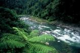fern;black-tree-fern;mamaku;stream;streams;river;rivers;bush;native-bush;forest;rapids;fronds