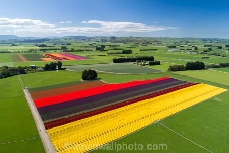 aerial;Aerial-drone;Aerial-drones;aerial-image;aerial-images;aerial-photo;aerial-photograph;aerial-photographs;aerial-photography;aerial-photos;aerial-view;aerial-views;aerials;agricultural;agriculture;bloom;blooming;blooms;color;colorful;colour;colourful;country;countryside;crop;crops;Drone;Drones;Edendale;farm;farming;farmland;farms;field;fields;floral;flower;flower-bed;flower-beds;flower-garden;flower-gardens;flowers;garden;gardens;geometric;green;green-fields;growing;horticulture;line;lines;meadow;meadows;N.Z.;New-Zealand;NZ;paddock;paddocks;pasture;pastures;pattern;patterns;purple;purple-flowers;Quadcopter-aerial;Quadcopters-aerials;red;red-flowers;row;rows;rural;S.I.;season;seasonal;seasons;SI;South-Is;South-Island;Southland;spring;spring-time;spring_time;springtime;Triflor;tulip;tulips;U.A.V.-aerial;UAV-aerials;vibrant;violet;yellow;yellow-flowers