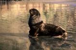 beach;beaches;mammal;mammals;sea-mammal;animal;wildlife;animals;hookers-sea-lion;hookers;Phocarctos-hookeri;Southern-Scenic-Route