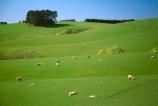 agriculture;farm;farming;farms;field;fields;grass;green;lamb;lambs;lush;meadow;meadows;paddock;paddocks;pasture;pastures;plain;plains;rural;sheep;spring;verdant